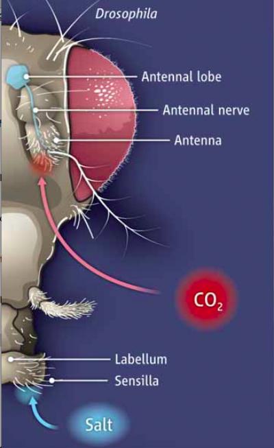 초파리는 혀가 없고 대신 주둥이끝(labellum)이나 다리의 털(sensilla)로 맛을 감지한다. 지난 2013년 주둥이끝의 뉴런에 있는 IR76b라는 나트륨 이온 통로 단백질이 저농도의 기분좋은 짠맛을 감지하는 수용체라는 사실이 밝혀졌다. 최근 한미 공동 연구자들은 IR76b이 IR25a, IR62a와 함께 고농도의 불쾌한 칼슘맛을 감지하는데 관여한다는 사실을 밝혀냈다. - 사이언스 제공